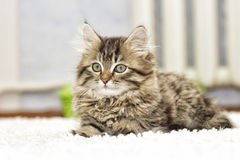 Fluffy kitten Stock Photography