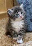 Fluffy kitten Stock Photo