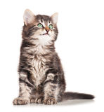 Fluffy kitten Stock Photography