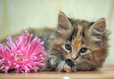 Fluffy kitten Royalty Free Stock Photography