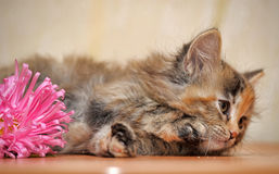 Fluffy kitten Royalty Free Stock Images