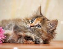 Fluffy kitten Royalty Free Stock Image