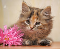 Fluffy kitten Royalty Free Stock Image