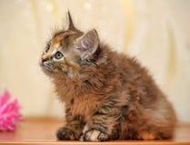 Fluffy kitten Royalty Free Stock Photo