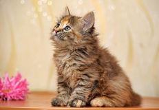 Fluffy kitten Stock Image