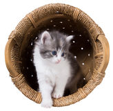 Fluffy kitten gets out of the basket isolated Stock Photo