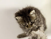 Fluffy kitten hunting mouse Royalty Free Stock Images