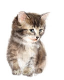 Fluffy kitten. Stock Images