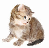 Fluffy kitten. Royalty Free Stock Photography