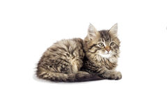 Fluffy kitten looking Royalty Free Stock Image