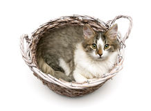 Fluffy kitten lying in a wicker basket on a white background Royalty Free Stock Images