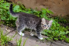 Fluffy kitten playing on the grass. Little kitten is a very active, funny animal. The concept of caring for Pets royalty free stock image