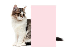 Fluffy kitten sits behind a banner on a white background Stock Photography