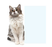 Fluffy kitten sits behind a banner on a white background Stock Photos