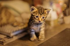 Fluffy kitten sitting in the room . Little kitten-very active, funny animal. The concept of pet care royalty free stock photos