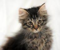 Fluffy kitten Stock Photos