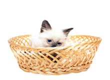 Fluffy kitten  straw basket. Fluffy kitten with blue eyes in  straw basket Stock Image