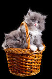 Fluffy kittens Royalty Free Stock Photography