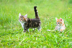 The fluffy kittens plays in a green grass Royalty Free Stock Photos