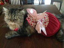 Fluffy kitty cat dressed up in a pretty heart dress. Fluffy kitty cat wearing a dress and necklace Royalty Free Stock Photo