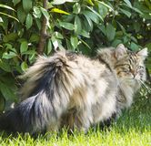 Brown tabby male cat in a garden Stock Photos