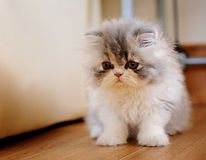 Fluffy Kitty Royalty Free Stock Image