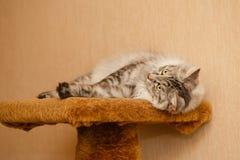 fluffy kota Zdjęcie Stock