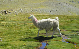 Fluffy lama Stock Photo