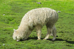 Fluffy lama eats grass Stock Photo