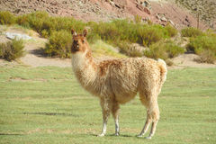 Fluffy lama. On green grass meadow in the Andes mountains royalty free stock photos