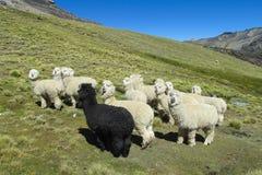 Fluffy lamas Stock Photography