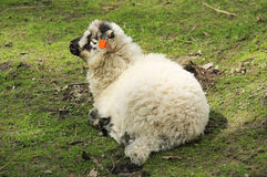 Fluffy lamb Stock Photo
