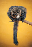 Fluffy lemur on a branch Stock Images