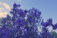Fluffy lilac. bush blooming lilac spring flower. Background blue sunset sky copy space Royalty Free Stock Photography