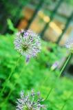 Fluffy lilac dandelion or allium in summer garden Royalty Free Stock Photo