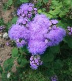 Fluffy lilac flowers Stock Photo