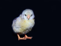 Fluffy little chick royalty free stock image