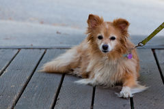 Fluffy Little Dog Royalty Free Stock Photography