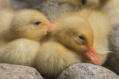 Fluffy little ducklings on the stones near a pond. These small kids inhabit the pond in Park `Knyaz Boris`, Sofia, Bulgaria Royalty Free Stock Images