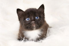 Fluffy little kitten Stock Images