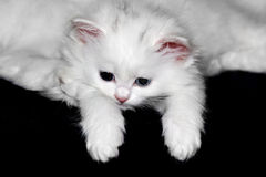 Fluffy little kitten Royalty Free Stock Image