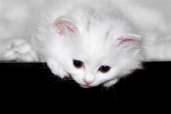 Fluffy little kitten Stock Photography