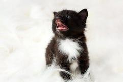 Fluffy little kitten Stock Image