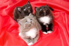 Fluffy little kittens Stock Image