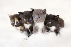 Free Fluffy Little Kittens Royalty Free Stock Photography - 14883347