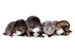 Fluffy little kittens Stock Photos