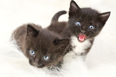 Fluffy little kittens Royalty Free Stock Image