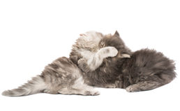 Fluffy little kittens played Stock Photo