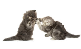 Fluffy little kittens played Stock Images