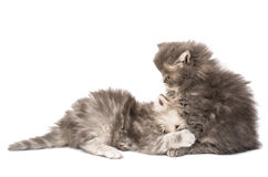 Fluffy little kittens played Royalty Free Stock Photos